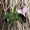 Viola eizanensis s7.jpg