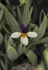 Viola hallii (Oregon violet) (5992061626).jpg
