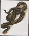 Vipera elegans - 1700-1880 - Print - Iconographia Zoologica - Special Collections University of Amsterdam - UBA01 IZ11700133.tif