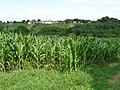 Vugrišinec - polje kukuruza.JPG