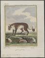 Vulpes lagopus - 1700-1880 - Print - Iconographia Zoologica - Special Collections University of Amsterdam - UBA01 IZ22200289.tif