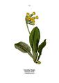 WWB-0014-002-Primula veris.png