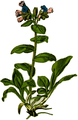 WWB-0029-009-Pulmonaria officinalis-crop.png