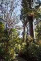 Waipoua Forest, kauri trees.jpg