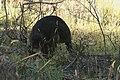 Wallabia bicolor (32550704152).jpg