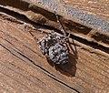 Walnut Orb Weaver Female ; Nuctenea umbratica. Araneidae (33849285756).jpg