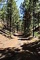 Wanderweg durch Pinienwald auf dem Weg zum Vulkan Chinyero auf Teneriffa, Spanien (48225175666).jpg