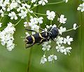 Wasp Beetle. Clytus arietis. Cerambycidae (1) (16279046075).jpg