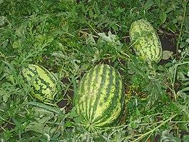 Общий вид плодоносящего растения.