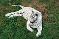 Weißer Tiger 01.jpg