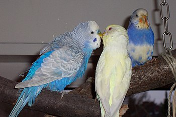 Two Budgerigars (also known as Budgies) in lov...