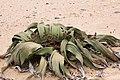 Welwitschia mirablis-1397 - Flickr - Ragnhild & Neil Crawford.jpg