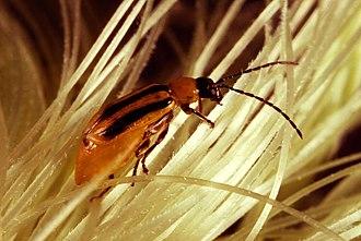Diabrotica - Image: Western corn rootworm