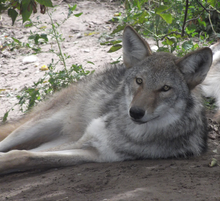 a90f2acab7764 A coywolf hybrid conceived in captivity between a male gray wolf and a  female coyote