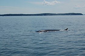 Whale in Bay of Fundy 03.jpg