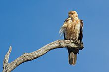 Whistling Kite (Haliastur sphenurus) (9351387644).jpg