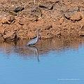White-faced heron Burke River Boulia Queensland P1030905.jpg