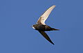 White-rumped swift, Apus caffer, at Suikerbosrand Nature Reserve, Gauteng, South Africa (22724613174).jpg