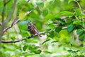 White-throated sparrow (17414643918).jpg