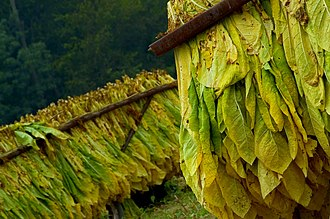 Types of tobacco - Harvested white burley in Cincinnati, Ohio.
