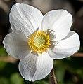 White Flower (8048121386).jpg