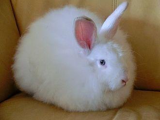 Angora rabbit - Satin Angora Blue-eye white