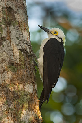 White Woodpecker - Pantanal MG 8994 (16223107320).jpg