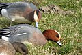 Widgeon male ( normal) (Anas penelope) (33708464801).jpg