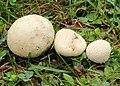 Wiesen-Stäubling Lycoperdon pratense.jpg