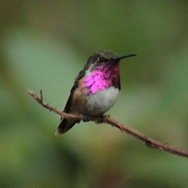 Wine-throated Hummingbird (Atthis ellioti).jpg