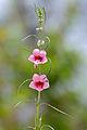 Winged-seed Sesame (Sesamum alatum) (15890637053).jpg