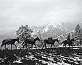 Winter Mule Packing, Wallowa Whitman National Forest (23820714662).jpg