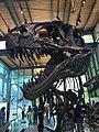Witte Museum Acrocanthosaurus.jpg