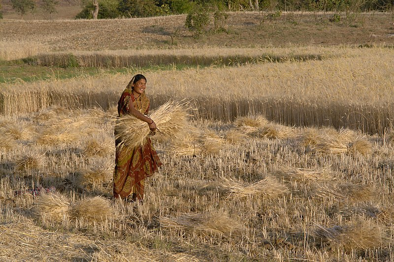 File:Woman harvesting wheat, Raisen district, Madhya Pradesh, India.jpg