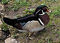 Wood.duck.750pix.jpg