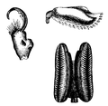 Wood 1865 Myriapoda of North America 43-44.png