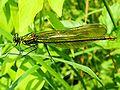 XN Calopteryx splendens female 01.jpg
