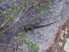 Xincoyote en Cerro Mesa Ahumada.jpg