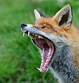 Yawning red fox.jpg