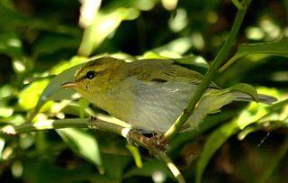 Yellow-throated woodland warbler species of bird