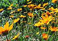 Yellow Coreopsis (1).jpg