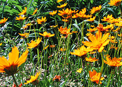 meaning of coreopsis