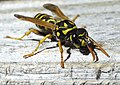 Yellow Jacket photo by William Ray Martin.jpg