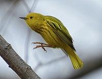 Yellow Warbler Setophaga aestiva m Toronto2.jpg