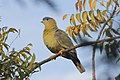 Yellow footed green pigeon 2.jpg