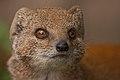 Yellow mongoose (3956786920).jpg
