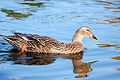 Young duck (2934313917).jpg