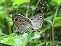 Ypthima huebneri – Common Four-ring mating 07.jpg