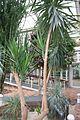 Yucca Elephantipes & Mexico (1) (11981987465).jpg