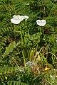 Zantedeschia aethiopica - Madeira 01.jpg